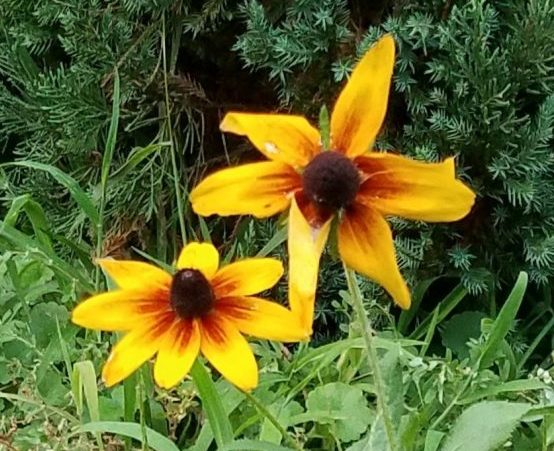 Black-eyed Susan Image Four
