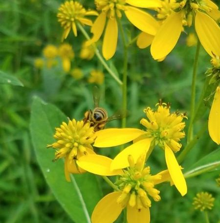 Bee & Yellow Ironweed Image Three