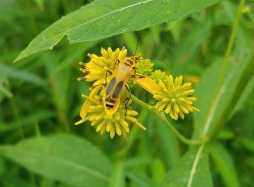 Yellow Ironweed & Bug Image Two