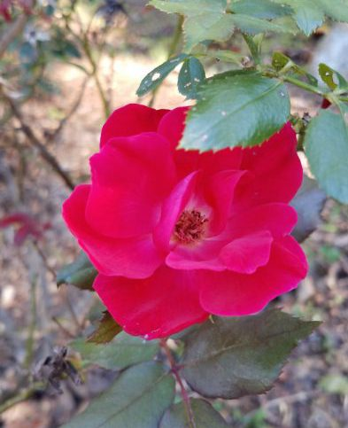 October Rose Image Six
