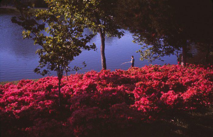 Azaleas Image Two