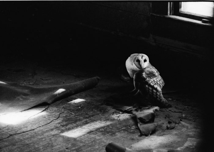 Barn Owl Image Three