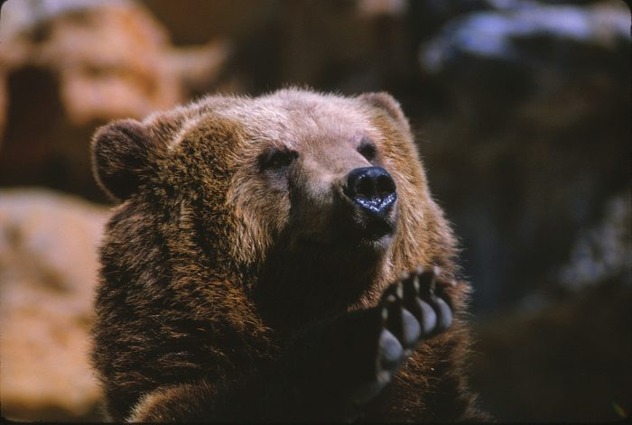 Kodiak Bear Image Five