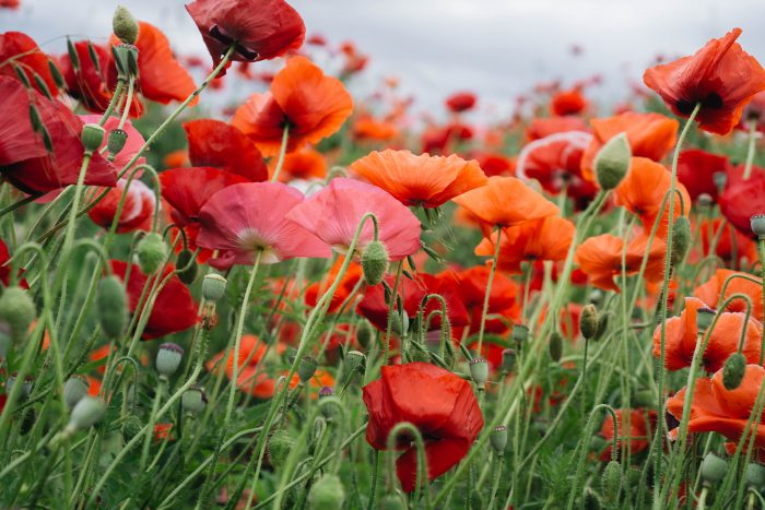 Poppies Unsplash Image Three
