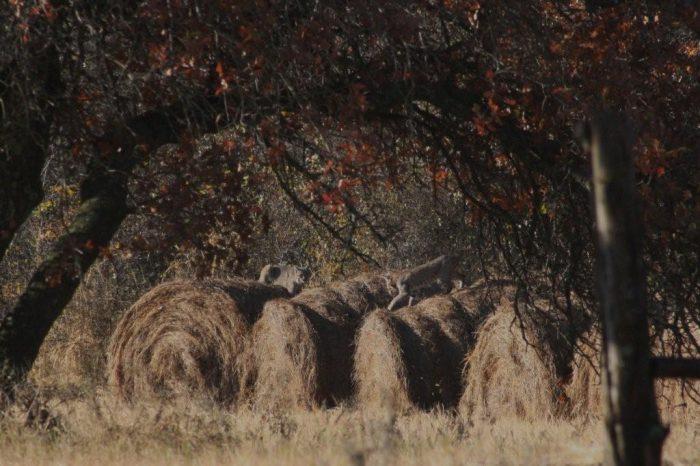 Bobcats Image Two