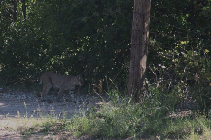 Bobcat Image Three