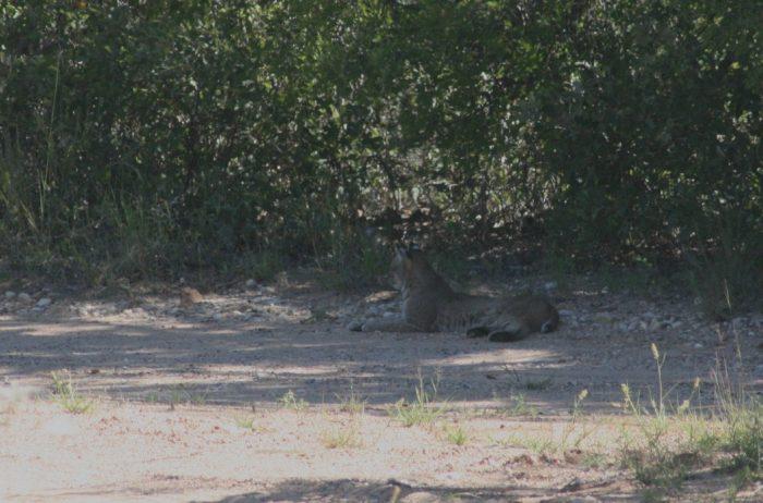 Bobcat Image Four