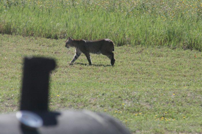 Bobcat Image Five