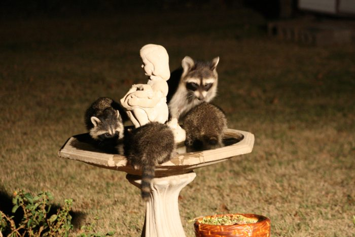 Raccoons Image Eight