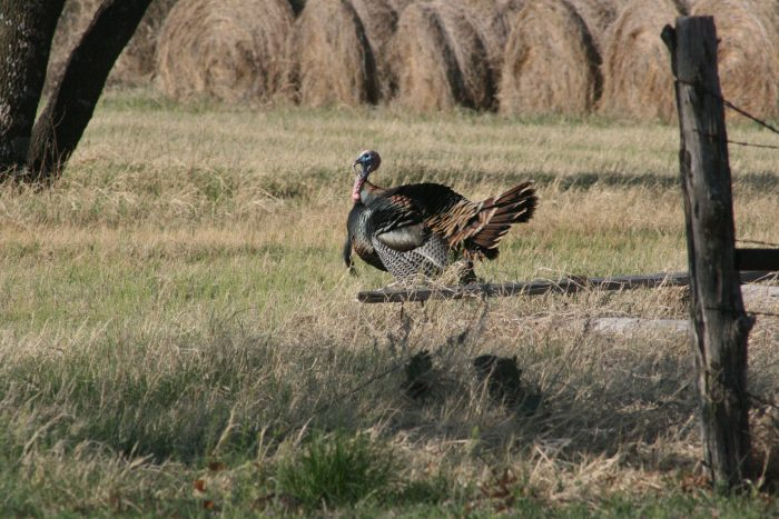Wild Turkey Image Two