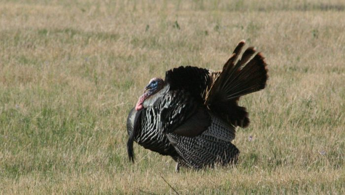 Wild Turkey Image Three