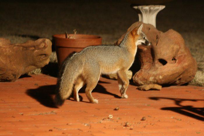 Fox Photo Four