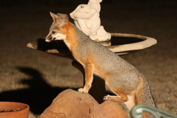Fox Photo Five