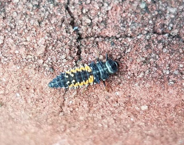 Lady Beetle Image Six