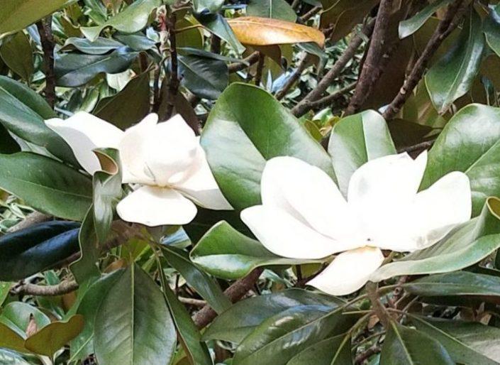 Magnolias Image