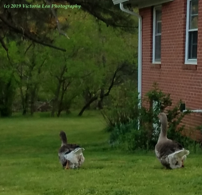 Geese Image Five
