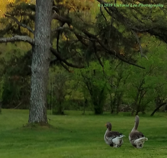 Geese Image Six