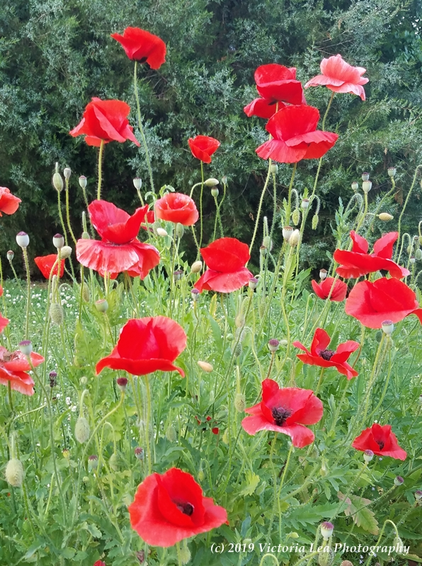 Poppies Image Three