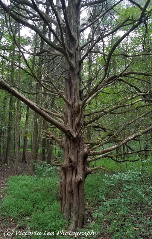 Cedar Tree Image Three