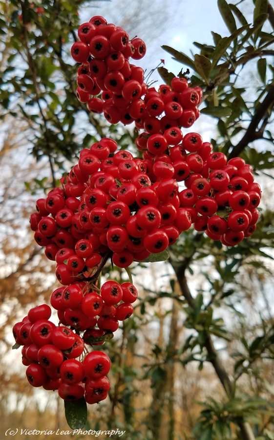 November Berries Image