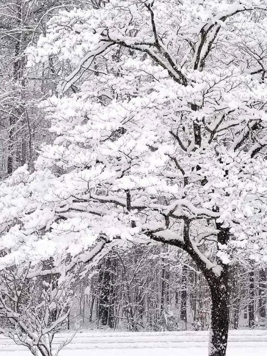 Snow Tree Image Two