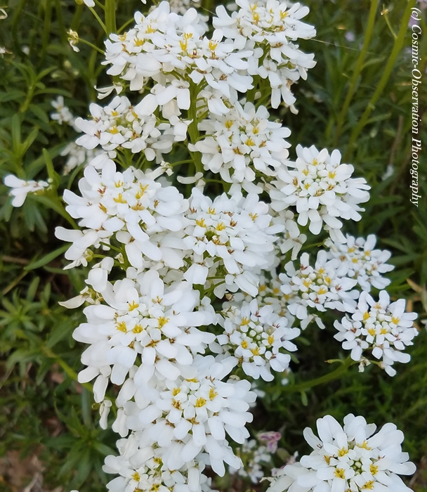 White Flowers Image