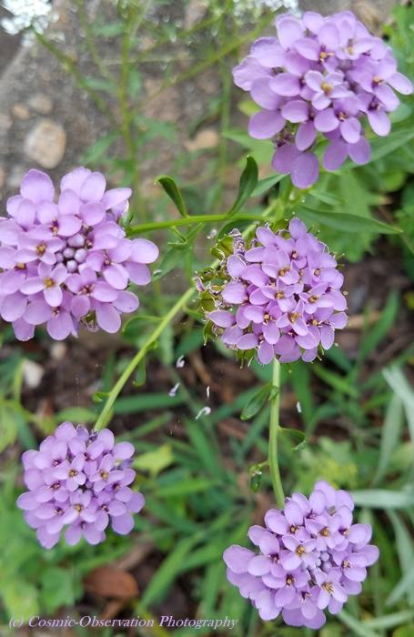 Lavender Candytuft Image