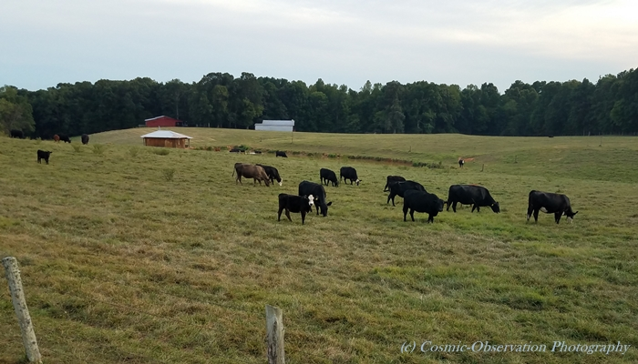 Cows In Pasture Image One