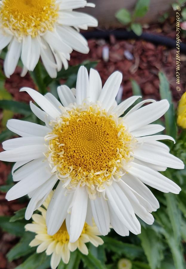 Yellow & White Asteraceae Image
