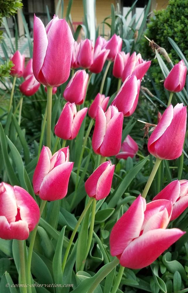 Didier's Tulip Image
